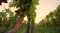 DS Farmer checking the grape in vineyard video