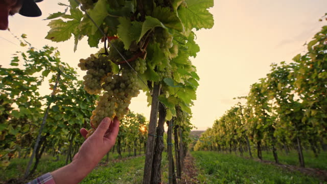 DS Farmer checking the grape in vineyard video
