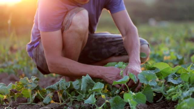 Farmer checks both as growing zucchini at field of organic eco farm video