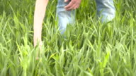 farmer checks cereal, wheat before harvest time video