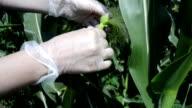 Farmer controlling corn plants in the field video