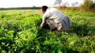Farmer cutting grass for use as animal fodder video
