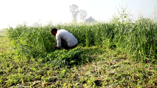 Farmer cutting green crop for use as animal fodder video