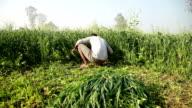 Farmer cutting green crop for use as animal fodder video