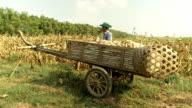 Farmer drinks water after harvesting corn video