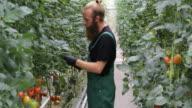 Farmer examining tomato plants at vegetable garden video