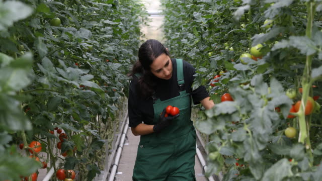 Farmer examining tomato plants in greenhouse video