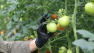 Farmer examining unripe tomatoes in greenhouse. video
