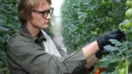 Farmer examining unripe tomatoes in greenhouse video