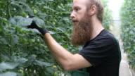 Farmer examining unripe tomatoes on plants video