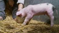 HD: Farmer Feeding A Piglet video