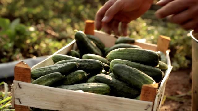 Farmer folding cucumbers in the box video