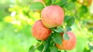 Farmer gathers harvest apples. video
