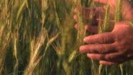 Farmer hand in wheat field video