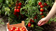 Farmer hand picking ripe tomatoes from bush video