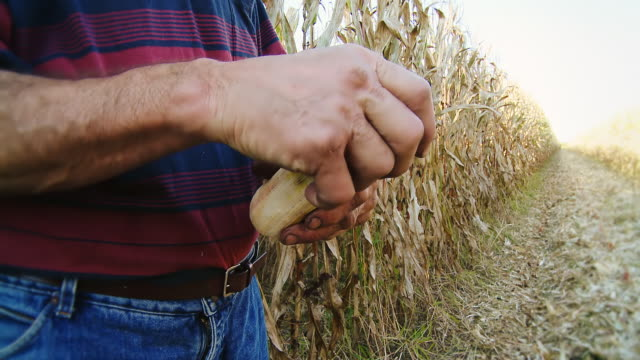 HD: Farmer Hands Peeling Corncobs video