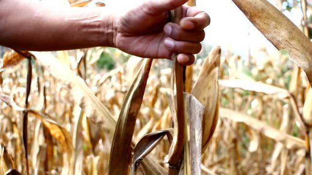 Farmer harvesting corn in his field video