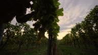 DS Farmer harvesting grapes at dusk video