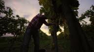 DS Farmer harvesting grapes video