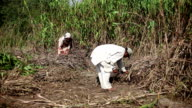 Farmer harvesting sorghum crop using sickle video