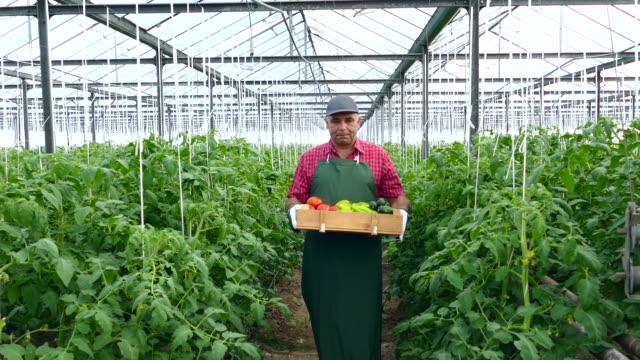 4K Farmer holding crate with fresh vegetables in greenhouse video