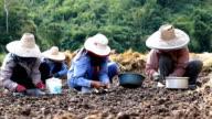 Farmer implant garlic in the field video