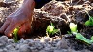 Farmer implant tobacco in field video