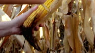 Farmer in Cultivated agricultural Corn Field video