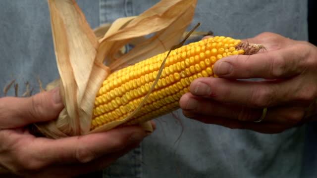 Farmer inspecting his corn, close up video