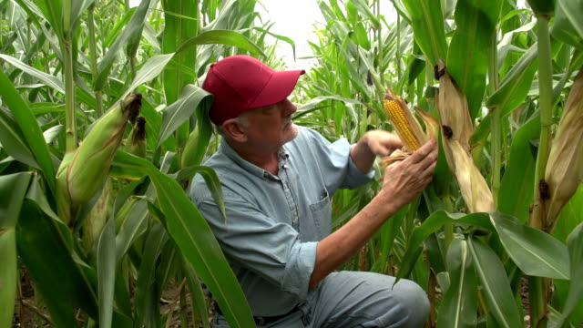 Farmer inspecting his corn in the field, looking at camera video