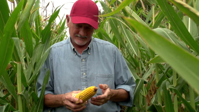 Farmer inspecting his corn in the field, standing video