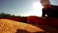 Farmer Inspecting Maize Grain video