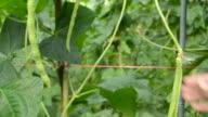 farmer is harvest long bean video