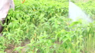 Farmer kills weed spraying pesticides in tropical field video