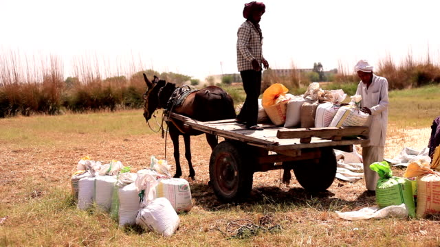Farmer loading cart after wheat harvesting video