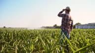 Farmer looking at agricultural sprinklers in corn field video