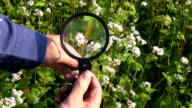 farmer looking buckwheat condition  with magnifier video