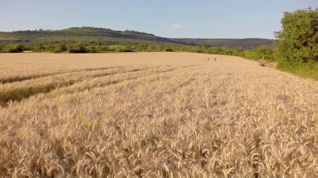 Farmer looking over the success of his crops - slowmotion video