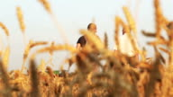 Farmer looks at the field of wheat video