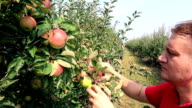 Farmer picking apples in a orchard video