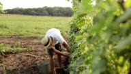 Farmer picking cucumber in vegetable greenhouse video