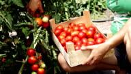 Farmer picking ripe tomatoes from bush video