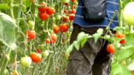 Farmer picking tomato in the greenhouse video