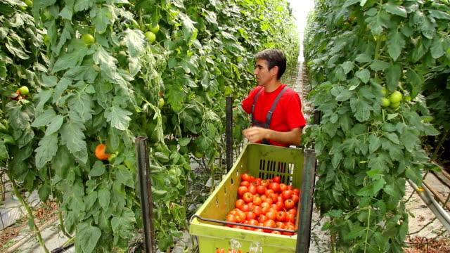 Farmer picking tomato video