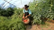 Farmer Picking Tomatoes video