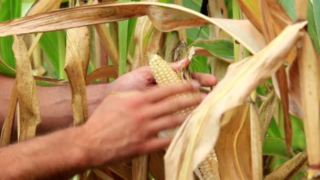 Farmer picking vegetables video