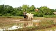 Farmer plowing a rice field video