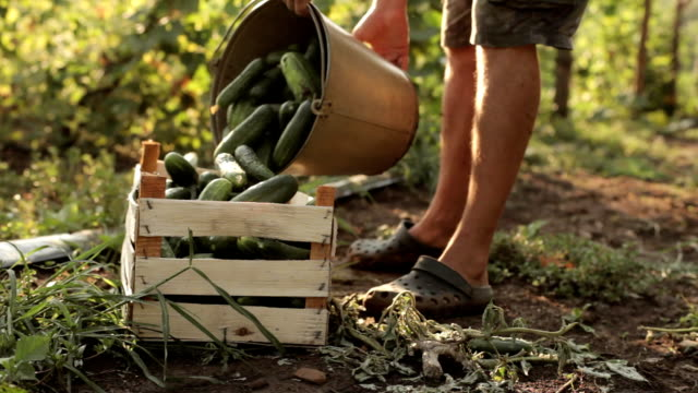 Farmer pours freshly harvest of cucumbers in the box video