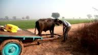 Farmer preparing animal cart for riding video