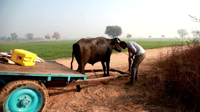 Farmer preparing animal cart for riding video